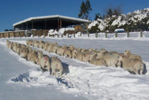 White Dorper Ewes in the snow