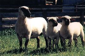 Dorset Down Ewe & Lambs © Graham Meadows Photography