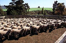 Dorset Down Cross Lambs