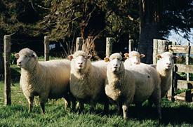 Pregnant Poll Dorset Ewes