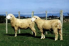 Poll Dorset Ram hoggets - 10 months