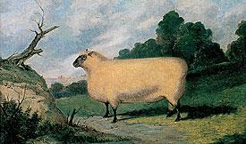 Shropshire Ram - Postcard