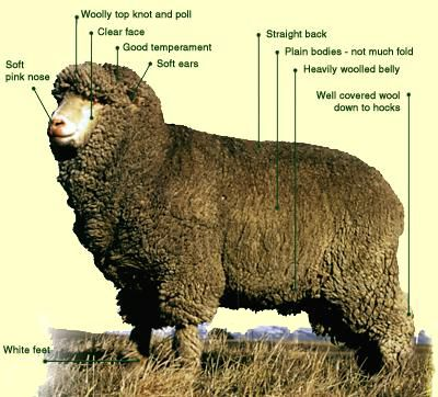 Polwarth Breed Classification