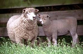 Ryeland Ewe and lamb © Graham Meadows Photography