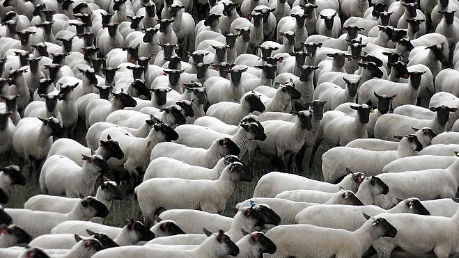 South Suffolk ewes