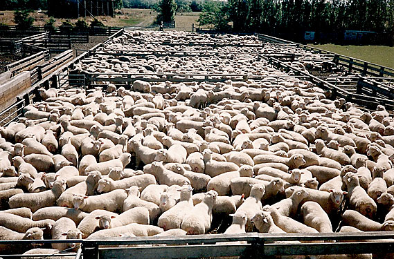 Weaning Day at Adelong