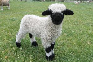 2017 Heartland ram lamb by Eros