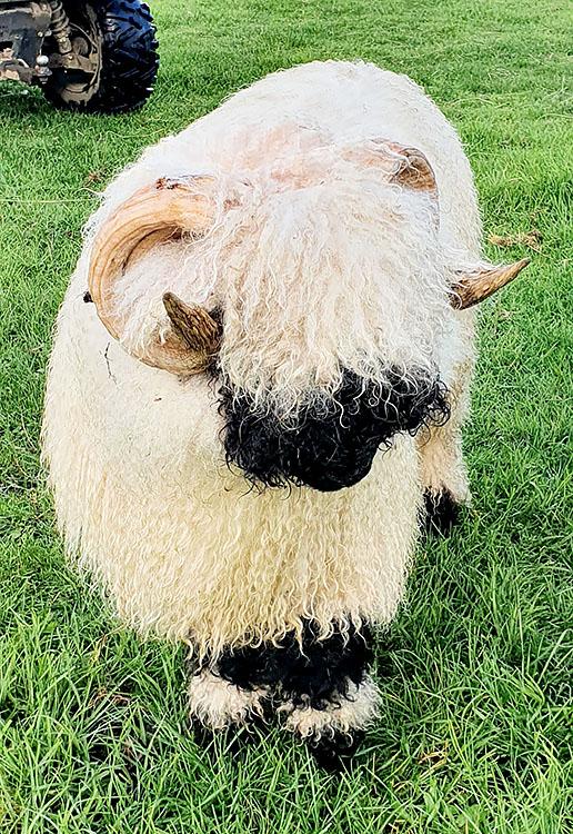 Purebred Valais Blacknose ram 'Highland Adam'